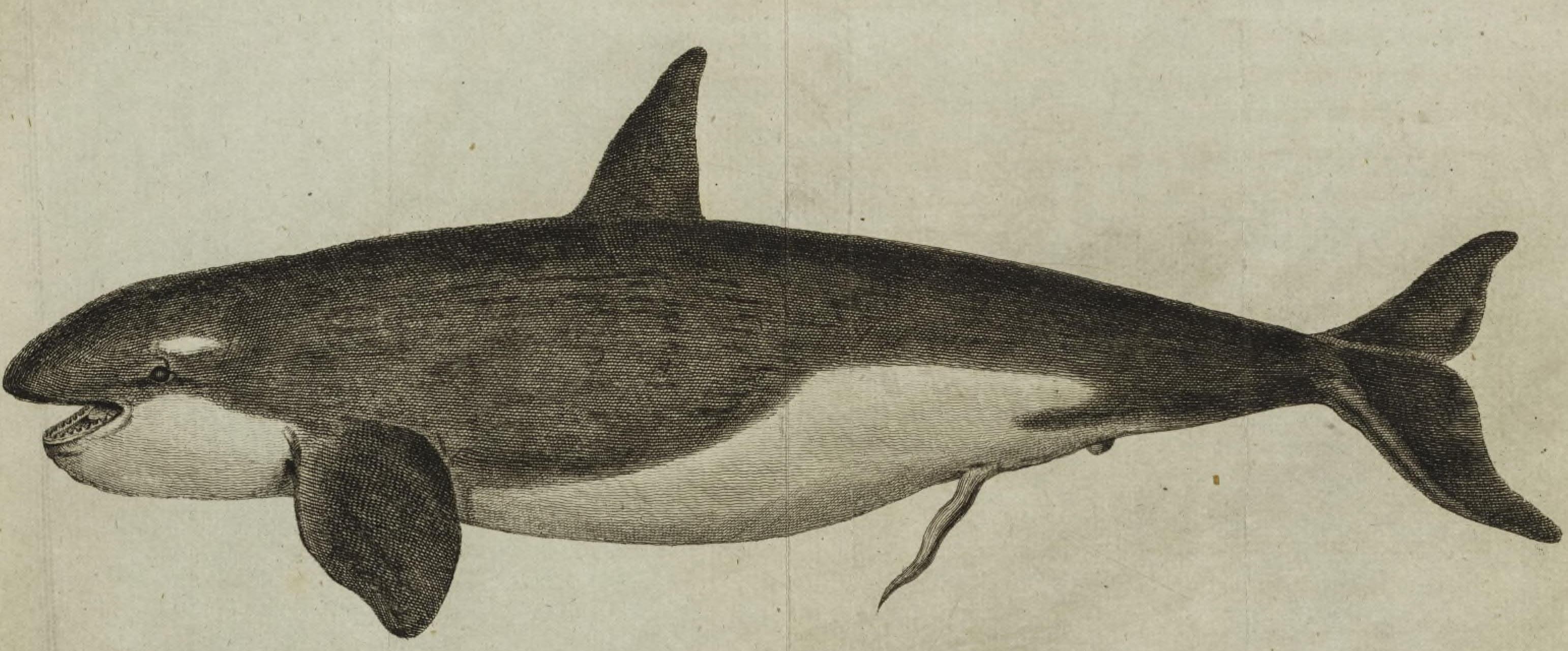 210323 1787 Grampus drawing1