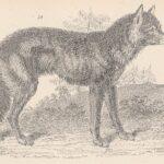 2-sad looking wolf (1860)